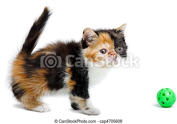 Tortoiseshell persian cat - csp4705608