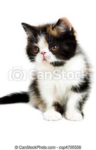 Tortoiseshell persian cat - csp4705556