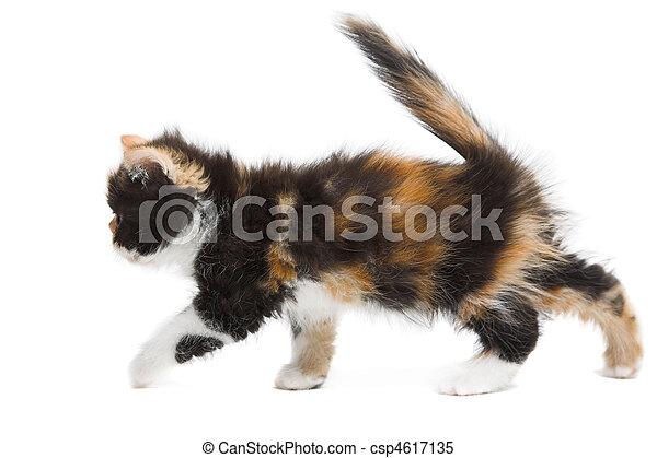 Tortoiseshell persian cat - csp4617135