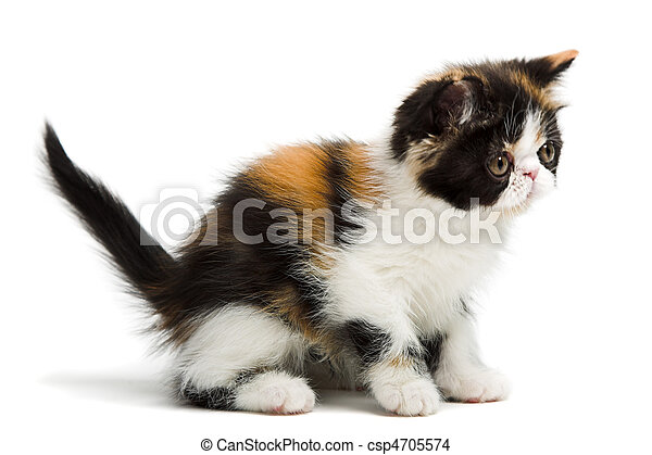 Tortoiseshell persian cat - csp4705574