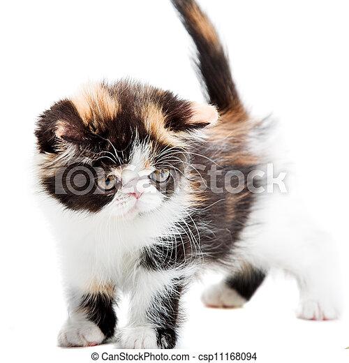 Tortoiseshell persian cat - csp11168094