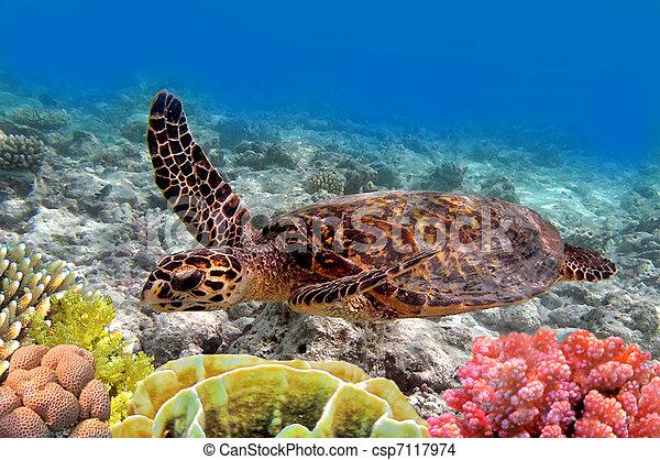 Tortuga marina verde nadando en el mar del océano - csp7117974
