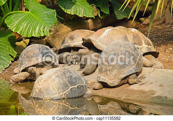 Las tortugas gigantes de las Galápagos - csp11135582