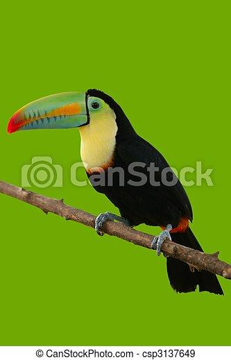 toucan, grøn baggrund, farverig, fugl - csp3137649
