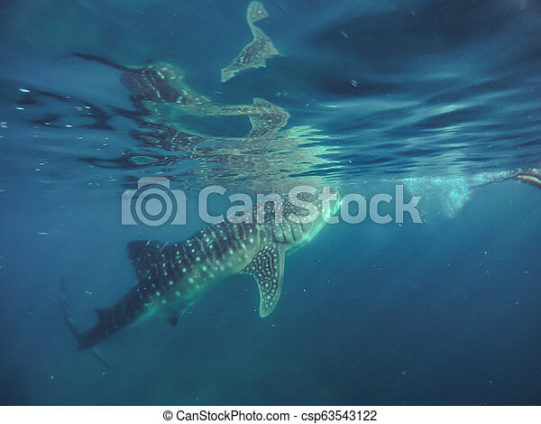 Tourists swim in the sea with whale sharks near the city of Oslob - csp63543122