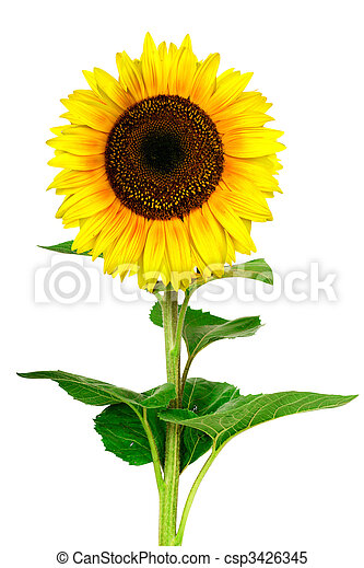 tournesol, fond, isolé, blanc, jaune - csp3426345