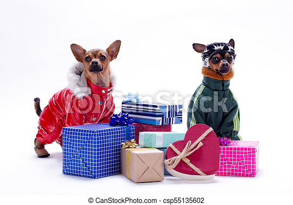 Toy terrier and chihuahua with gift boxes. - csp55135602