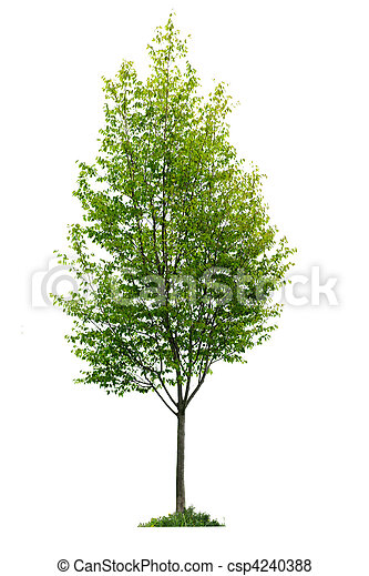 träd, isolerat, ung - csp4240388