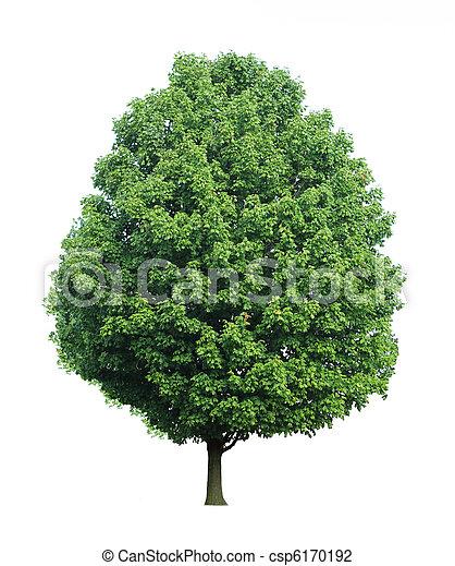 träd, lönn - csp6170192
