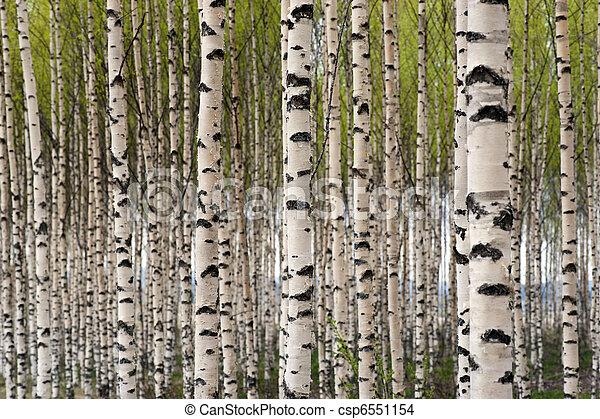 træer, birk - csp6551154