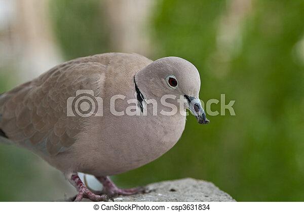 tr s mignon pigeon graines manger debout mignon gros plan manger pigeon graines. Black Bedroom Furniture Sets. Home Design Ideas