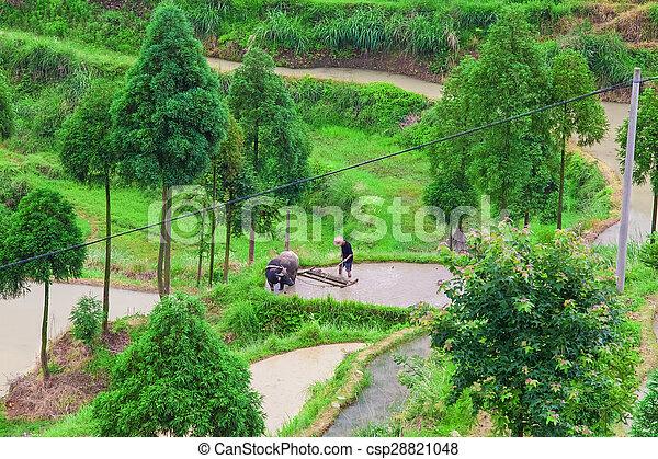 Granjero Asiático Trabajando En Campo De Arroz Con Terraza