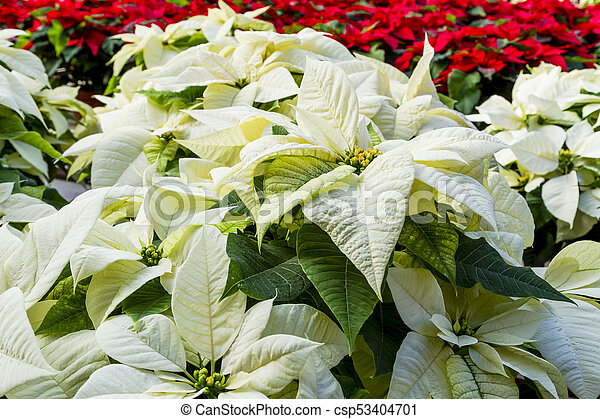 Traditional Red Poinsettias Christmas Flowering Plant Display Of