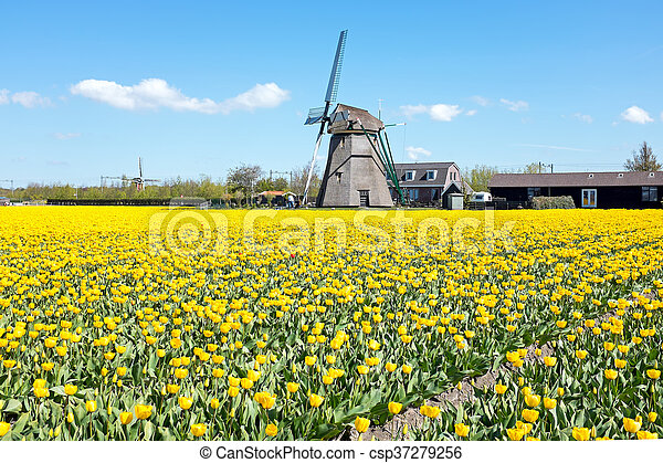 Traditional windmill with blossoming tulips in a dutch landscape in the Netherlands - csp37279256