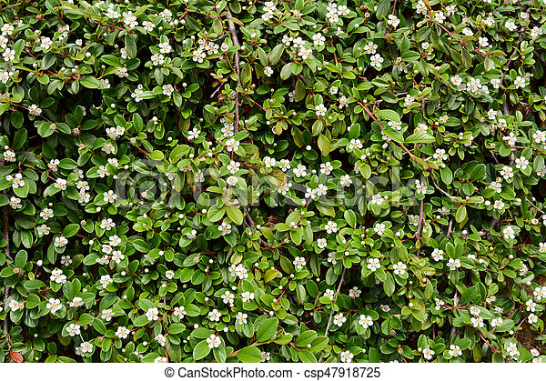 Trailing cotoneaster shrub with white flowers and small glossy green trailing cotoneaster shrub with white flowers csp47918725 mightylinksfo