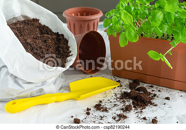 Transplantation of basil seedlings. A home garden. Growing herbs on the windowsill or balcony - csp82190244