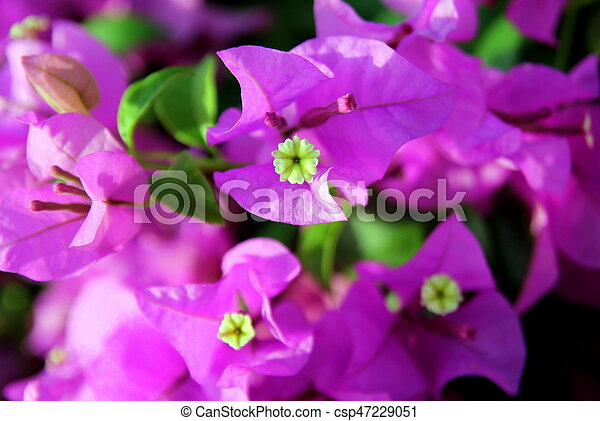 Travel to bangkok thailand the small pink and white flowers travel to bangkok thailand the small pink and white flowers bougainvillea in a park mightylinksfo