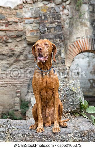 traveling vizsla dog in Antigua Guatemala - csp52165873