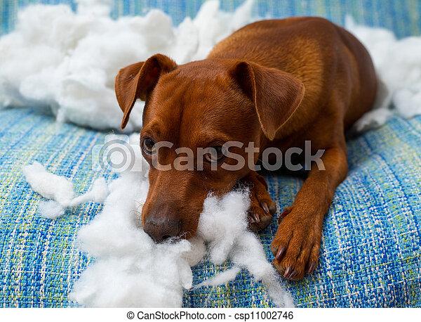 travesso, após, cão, brincalhão, morder, filhote cachorro, travesseiro - csp11002746
