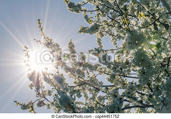 tree blossoming in springtime - csp44451752