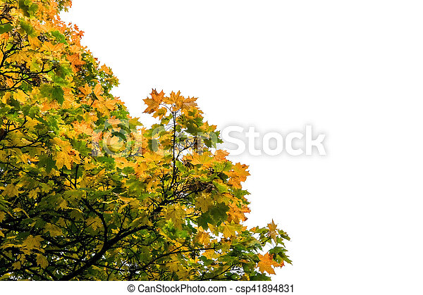 Tree Branch with yellow leaves, autumn. With blue sky background - csp41894831