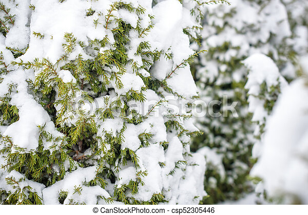 Tree branches under the snow in winter. - csp52305446
