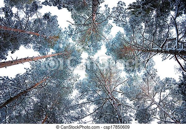 Tree Canopy In Winter Stock Photo & Tree canopy in winter. Tree canopy with conifers covered in ...