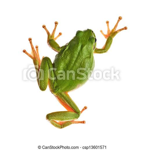 tree frog - csp13601571