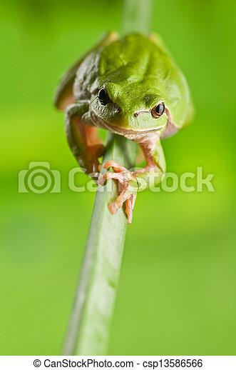 tree frog - csp13586566