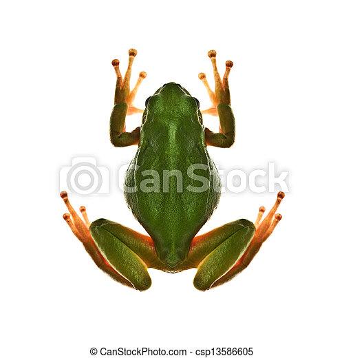 tree frog - csp13586605