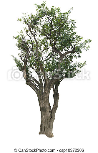 Tree isolated on the white backgrounds - csp10372306
