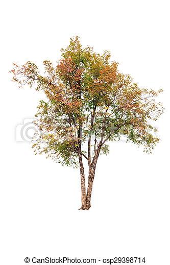 Tree isolated on white background - csp29398714