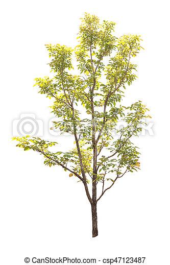 Tree isolated on white background - csp47123487