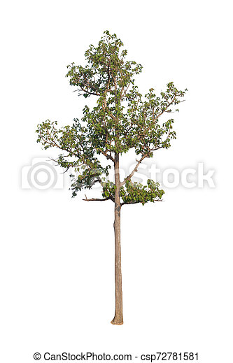 Tree isolated on white background - csp72781581