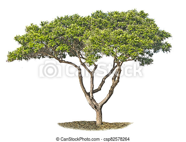 Tree isolated on white background - csp82578264