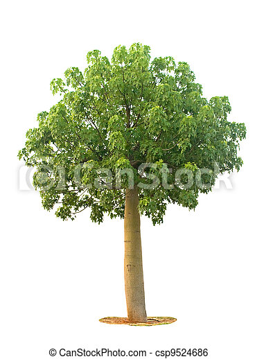 Tree isolated on white background - csp9524686