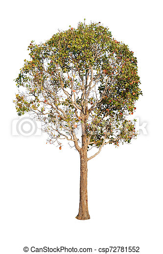 Tree isolated on white background - csp72781552