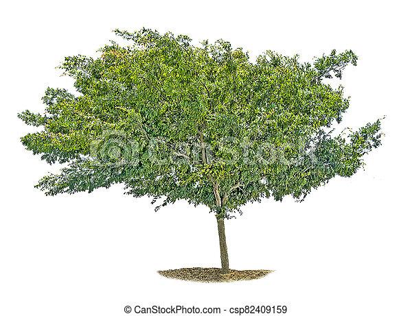 Tree isolated on white background - csp82409159