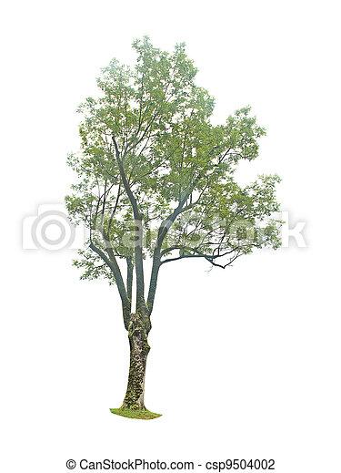 tree isolated on white background - csp9504002