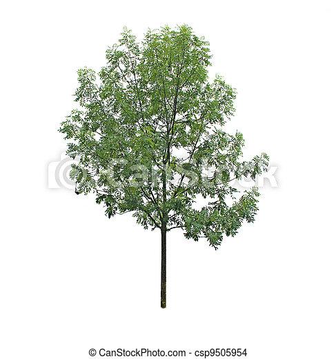 tree isolated on white background - csp9505954