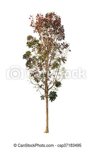 Tree isolated on white background - csp37183495