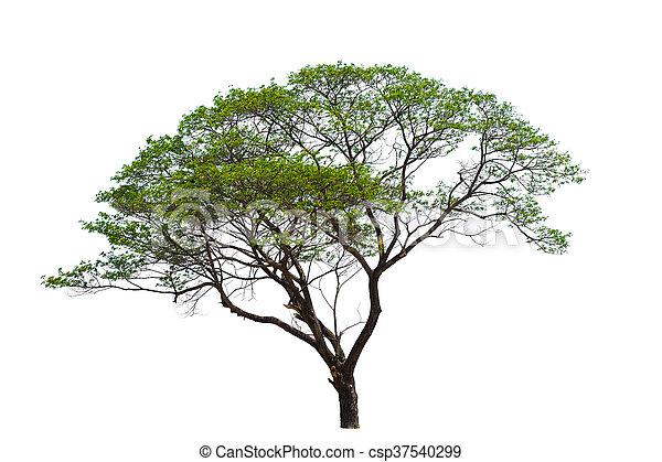 Tree isolated on white background. - csp37540299