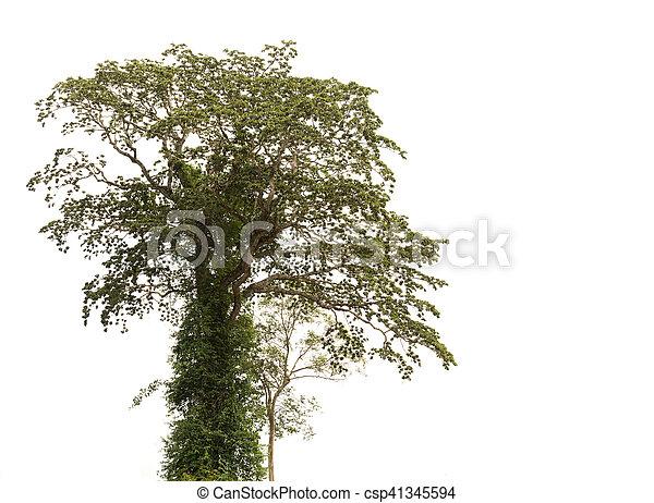 tree isolated on white background. - csp41345594
