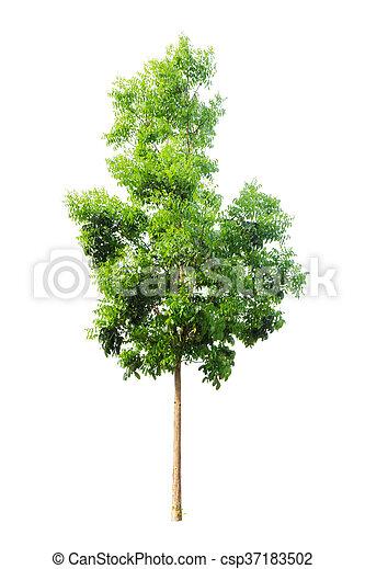 Tree isolated on white background - csp37183502