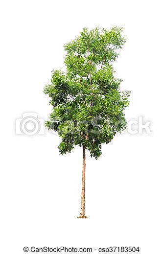 Tree isolated on white background - csp37183504