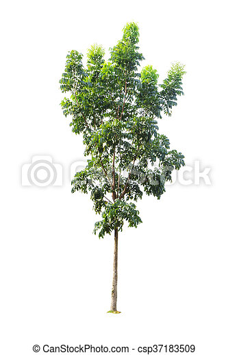 Tree isolated on white background - csp37183509