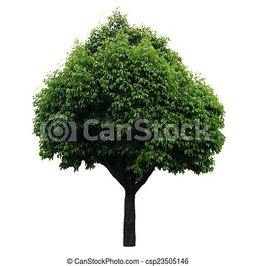 Tree isolated on white - csp23505146