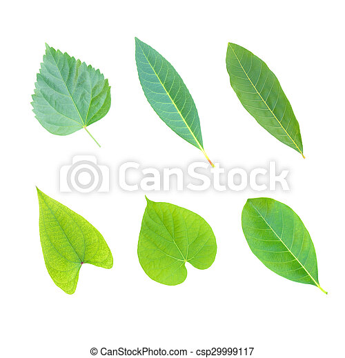 tree leaves isolated on white background - csp29999117