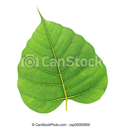tree leaves isolated on white background - csp30000959