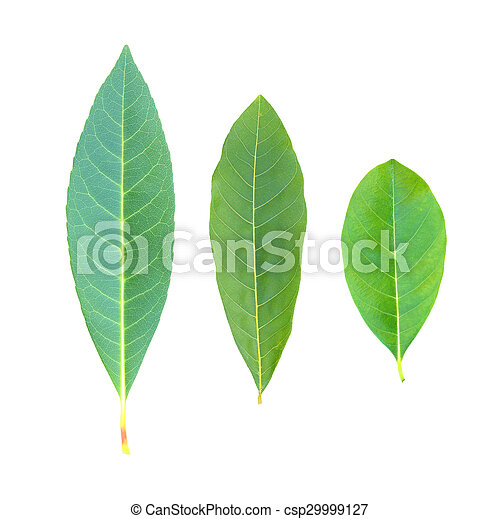 tree leaves isolated on white background - csp29999127